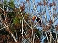 Toco Toucan (Ramphastos toco) (30975378943).jpg