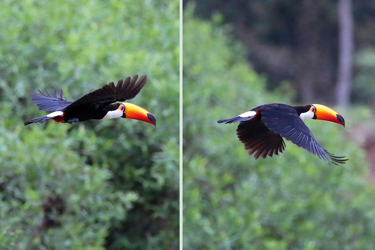 Toco toucan (Ramphastos toco) in flight composite.jpg