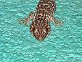 Tokay Gecko (Gekko gecko) (7858232692).jpg