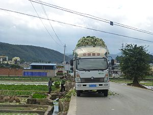 Napa cabbage - Harvested napa cabbage being loaded on a truck in Tonghai County, Yunnan