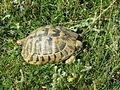 Tortoises in Krushevska Reka valley - P1100162.JPG