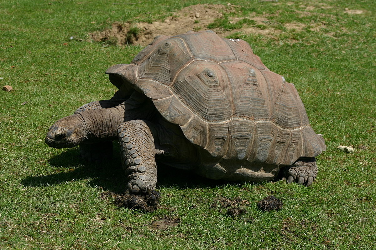 tortue géante des galápagos wikipédia
