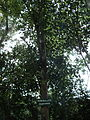 Trâm Bullock - Syzygium bullockii.JPG