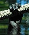 Trachypithecus cristatus cristatus right hand.jpg