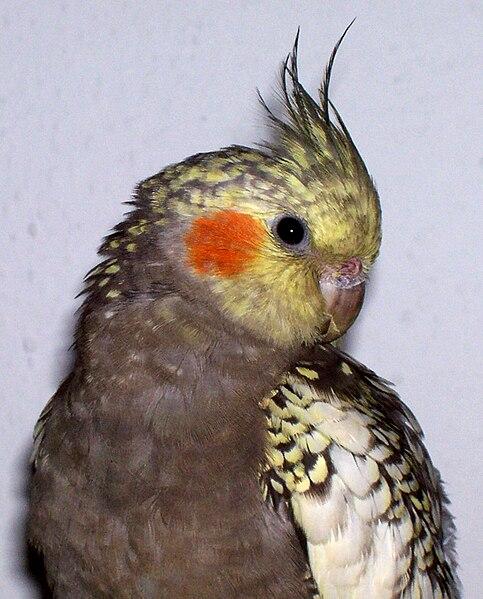 Ficheiro:Tree month old cockatiel.jpg