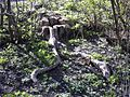 Tree stump, May 2013.jpg