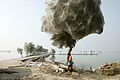 Trees cocooned in spiders webs after flooding in Sindh, Pakistan (5571181942).jpg
