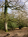 Trees within the South Bentley Inclosure, New Forest - geograph.org.uk - 123486.jpg