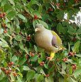 Treron calvus glaucus, in vyeboom, m, Pretoria.jpg