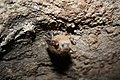 Tri-colored bat with WNS (7029644839).jpg