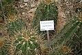 Trichocereus candicans 800px jn.jpg