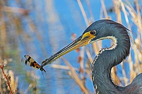 Tricolored Heron - Egretta tricolor, Anhinga Trail, Everglades National Park, Homestead, Florida - 11293158675.jpg
