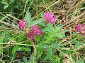 Trifolium medium-Salzburg, Flachgau, Eugendorf-bE-HdN-1121a.jpg