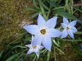 Tristagma uniflorum Wisley Blue.jpg