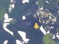 Troides helena (Papilionidae) (8187473717).jpg