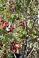 Tropaeolum tricolor BotGardMunich 20170225 C.jpg