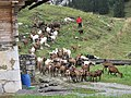 Troupeau de chèvres les Confins.jpg