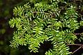 Tsuga diversifolia 01.jpg