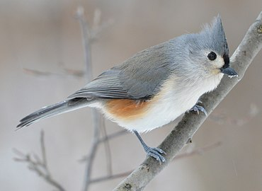 Image result for tufted titmouse