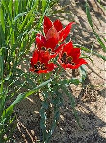 Tulipa agenensis sharonensis, Israel.
