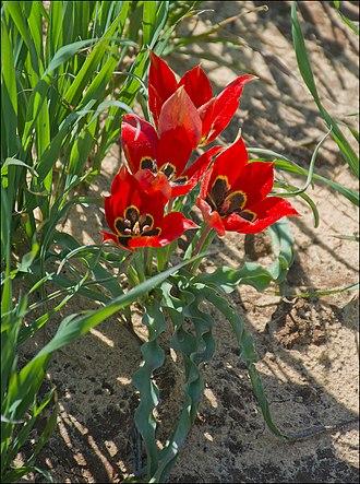 Taxonomy of Tulipa - Tulipa agenensis sharonensis in HaSharon, Israel