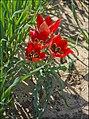 Tulipa-Sharonensis-ZE-5487.jpg