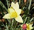 Tulipa clusiana in Jardin des Plantes 04.jpg