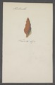 Turbinella spec. - - Print - Iconographia Zoologica - Special Collections University of Amsterdam - UBAINV0274 084 04 0002.tif
