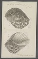 Turbo setosus - - Print - Iconographia Zoologica - Special Collections University of Amsterdam - UBAINV0274 082 23 0009.tif