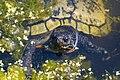 Turtles and Dragonflies-3776 (37348691041).jpg