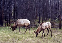 Two elk banff.jpg