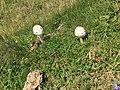 Two fungi on Monte Generoso.jpg