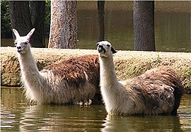 Two llamas going for a swim