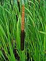 Typha latifolia 002.JPG