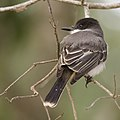 Tyrannus caudifasciatus -Camaguey Province, Cuba-8 (1).jpg