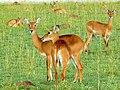 Uganda Kobs (Kobus thomasi) (6861575937).jpg