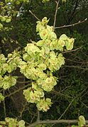 Ulmus minor IP1104015.jpg