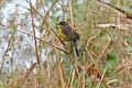 Unicoloured Blackbird (Agelasticus cyanopus) female (28404096763).jpg