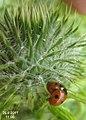 Unid. ladybirds (5876402272).jpg