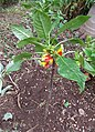 Unknown plant - Madeira - DSC07988.jpg