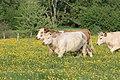 Vaches allée Pré Brus St Cyr Menthon 10.jpg