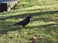 Vancouver-Birds-Crow1.jpg