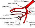 Variation 5 of internal iliac artery branching.svg
