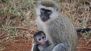 Arquivo: Velvet monkey.jpg