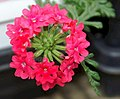 Verbena Babylon Neon Rose 0zz.jpg