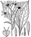 Verbesina alternifolia (L.) Britton ex Kearney Wingstem.tiff