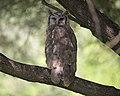 Verreaux's Eagle-owl (Bubo lacteus) (24254497001).jpg