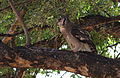 Verreaux's eagle-owl, or giant eagle owl, Bubo lacteus eating a snake at Pafuri, Kruger National Park, South Africa (20062653854).jpg