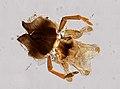 Vespidae (YPM IZ 098595).jpeg