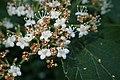Viburnum betulifolium kz02.jpg